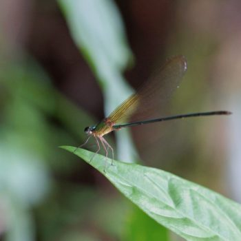 Vestalis gracilis (Clear-winged Forest Glory) - Thailand
