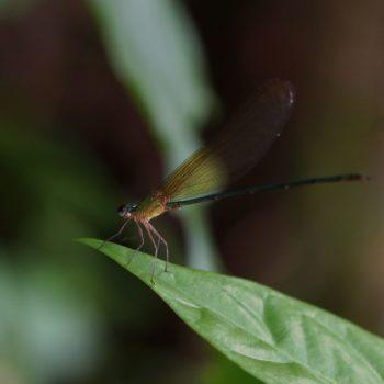 Vestalis gracilis gracilis (Clear-winged Forest Glory)