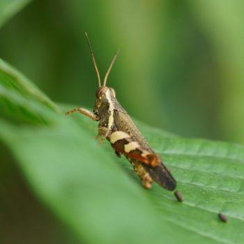Xenocatantops humilis (Spur-throated Grasshopper)