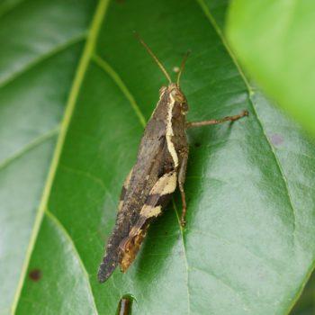 Xenocatantops humilis (Spur-throated Grashopper) - Thailand