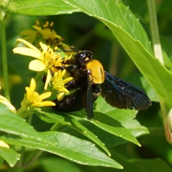 Xylocopa aestuans (Holzbiene)