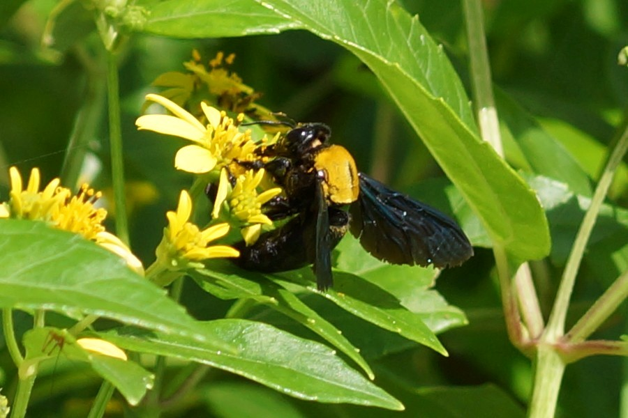"<a href=""/xylocopa-aestuans"" target=""_blank""><i>Xylocopa aestuans</i> (Holzbiene)</a>"