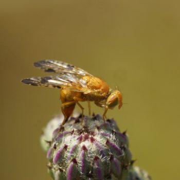 Xyphosia miliaria (Distel-Bohrfliege)