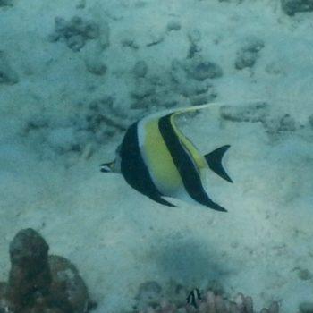 Zanclus cornutus (Halfterfisch) - Thailand