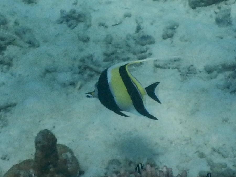 <i>Zanclus cornutus</i> (Halfterfisch)