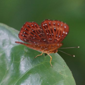 Zemeros flegyas (Punchinello) - Thailand