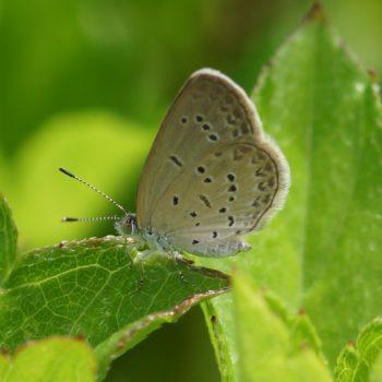 Zizina otis (Lesser Grass Blue)