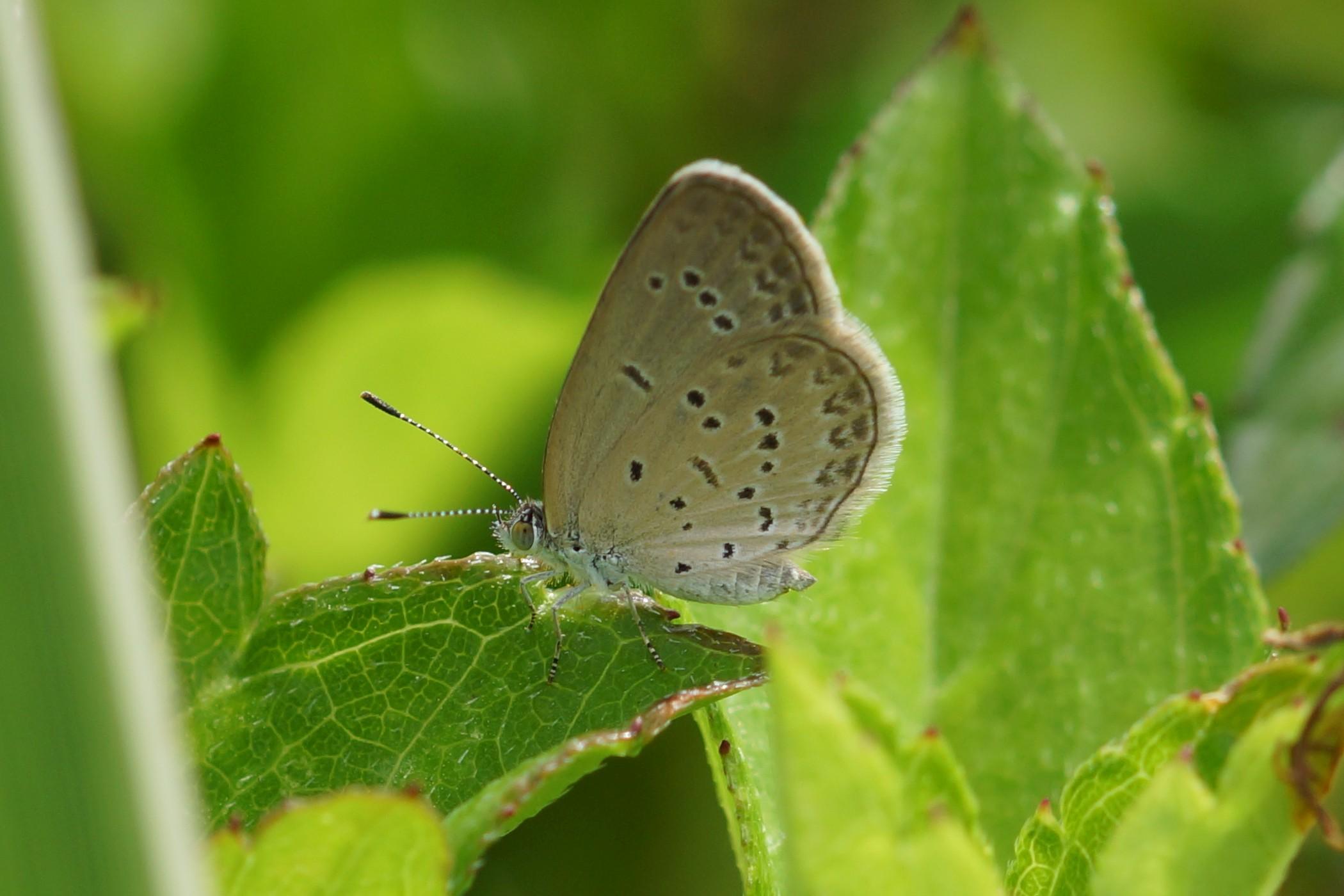 <i>Zizina otis</i> (Lesser Grass Blue)