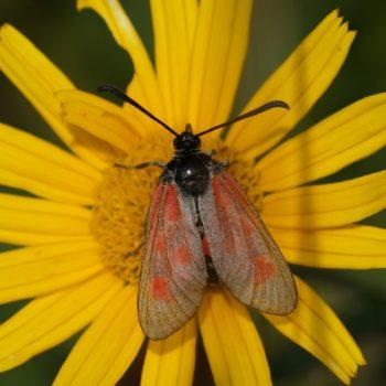 Zygaena loti (Beilfleck-Widderchen)